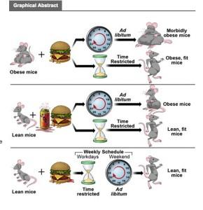 Intermittent Fasting Mice Graphic